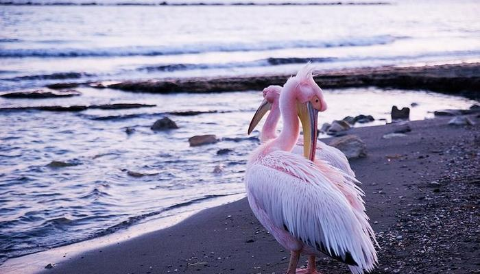VIDEO: Lovely pink pelicans landed on the coast of Amathus!