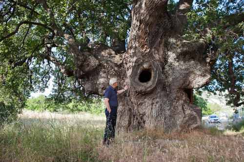 The centuries-old oak tree of Laneia