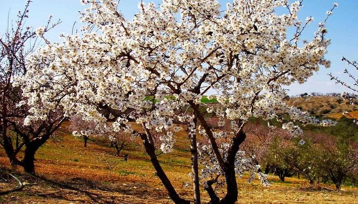Which is the village of Limassol that hosts the Almond Tree Festival?