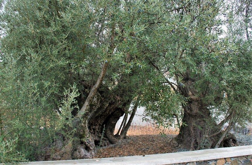 Perennial trees in Limassol: Majestic giants of over 1000 years of age!