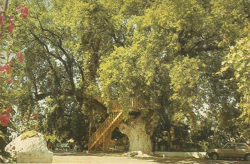 'Royal Oak,' the giant tree that became a landmark of the Limassol mountain area!