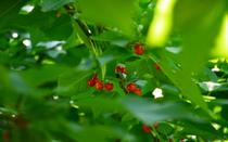 Cherries decorate the trees until the end of July.